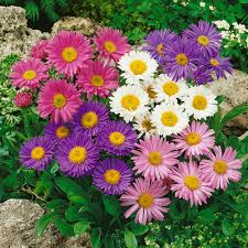 Aster Mixed