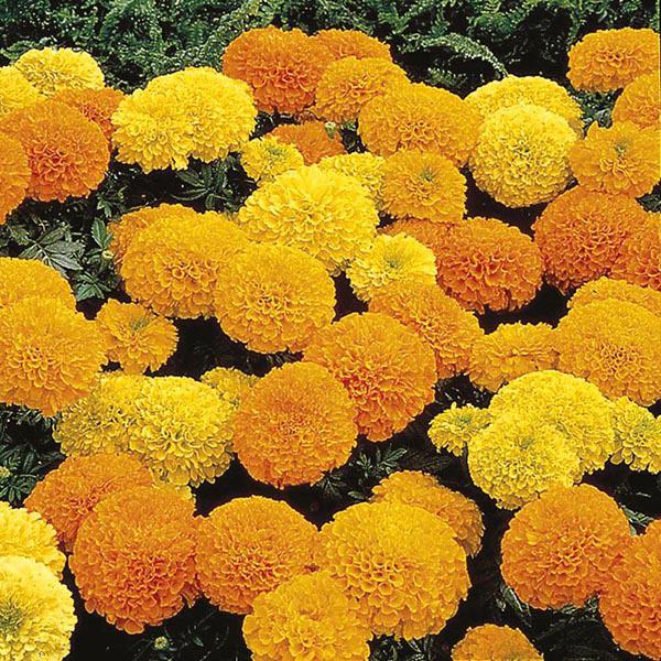 Marigold African Mixed