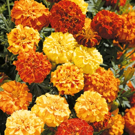 Marigold French Mixed