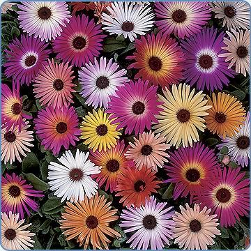 Mesembryanthemum Mixed