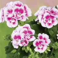 Geranium Upright