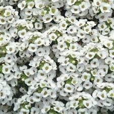 Alyssum - White
