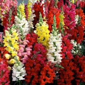 Antirrhinum Mixed