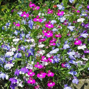 Lobelia Mixed Trailing
