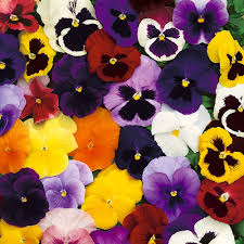 Pansy-Mixed