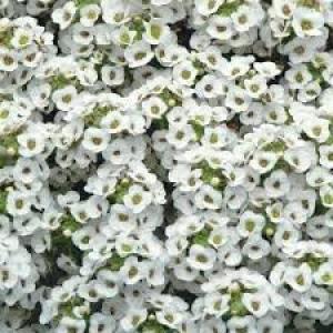 Alyssum White
